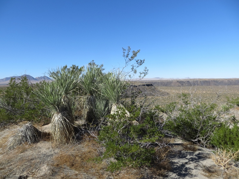 On the walk you'll be passing typical Chihuahuan Desert vegetation of creosote bush, soaptree yucca, and mesquite.