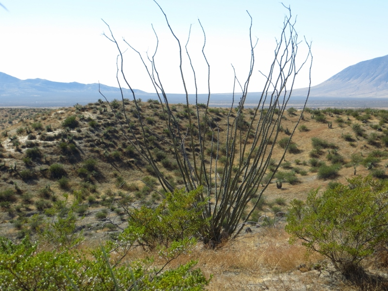 You'll even see the occasional ocotillo.