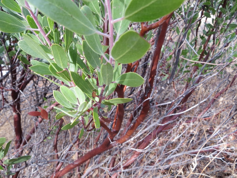 When you walk along, you'll find high desert vegetation such as this manzanita with its red bark.