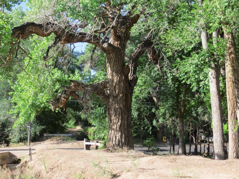 Many of the trees along the acequia are huge.