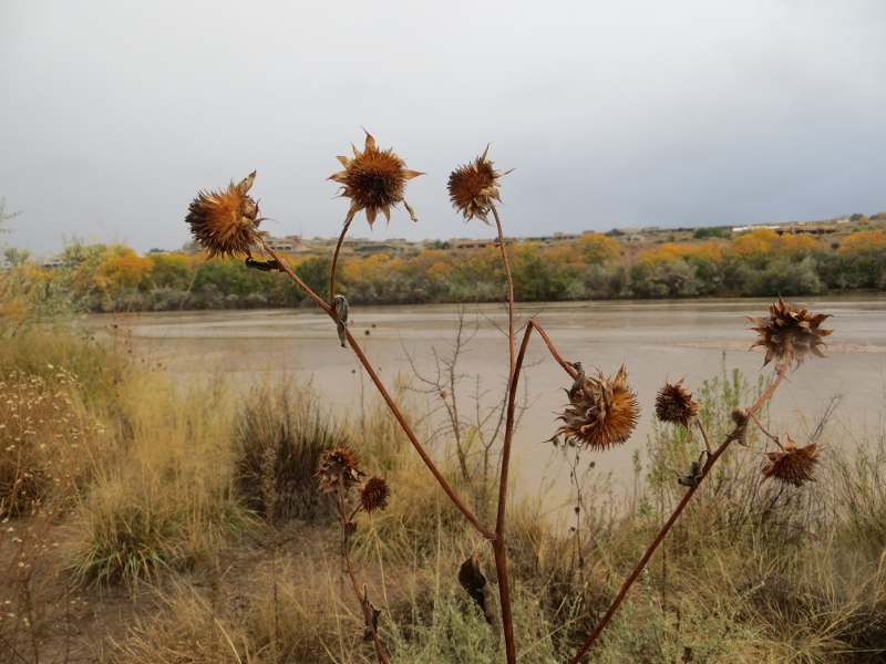 A summer flower along the Rio Grande in the autumn.