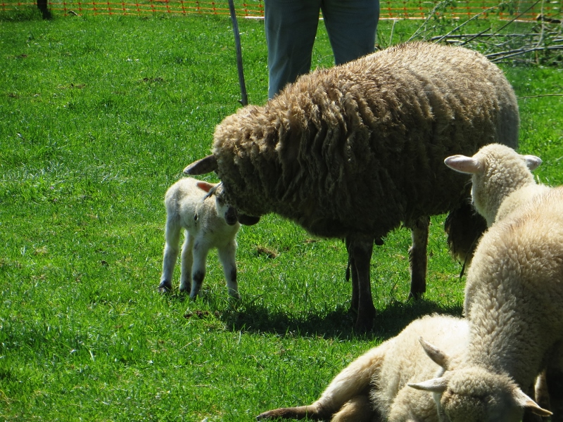 The newborn lamb was still wobbling when I passed by.