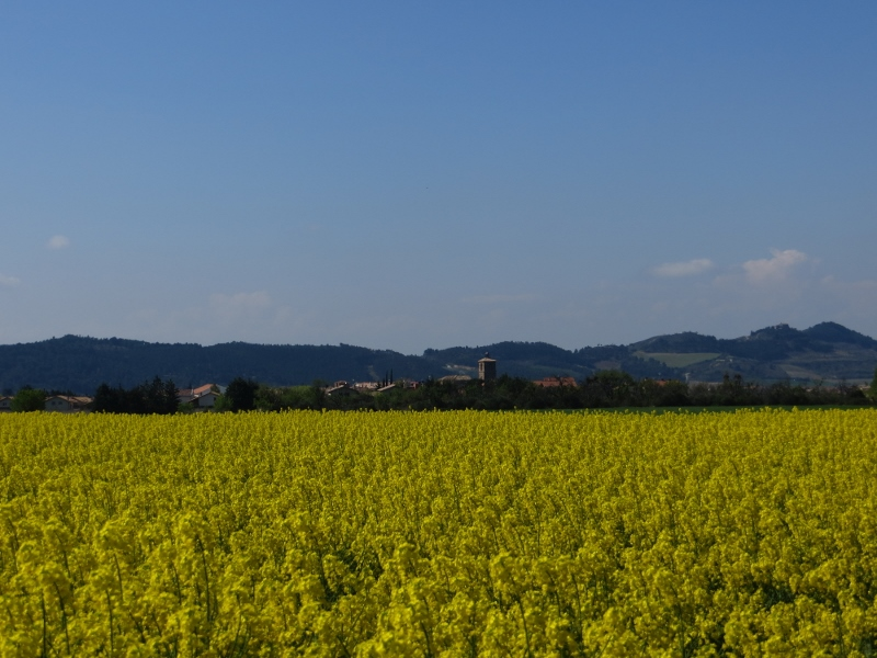 Canola (Rapeseed) was blooming everywhere west of Pamplona.
