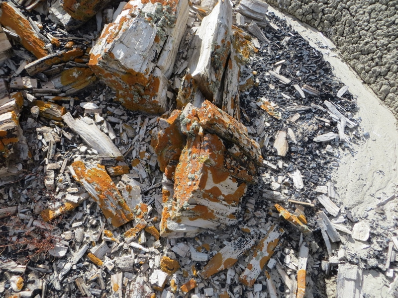 This petrified wood had a different color of lichen.